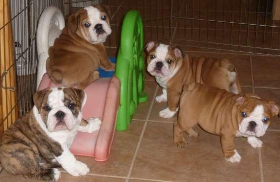 Regalando mis bulldogs ingleses sin cargo